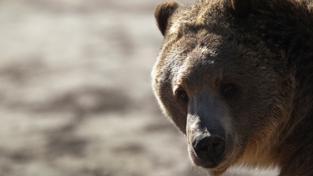 Medvědi, kteří dlouho trpěli v zajetí, nacházejí klid v rezervaci v rumunských alpách. Ilustrační foto