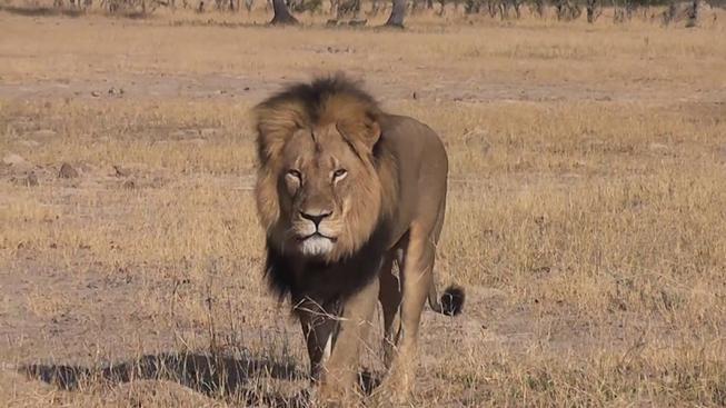 Cecil byl zimbabwským miláčkem, za možnost vyfotit si ho lidé platili tisíce