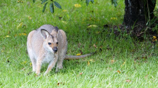 V 70. letech uteklo ze zoo ve francouzském městečku Emancé několik skupin klokanů Bennettových. Usídlili si v nejbližším lesíku a postupně se jejich počty rozrostly (ilustrační snímek)