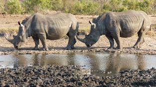 Loni pytláci v JAR zabili 1215 nosorožců (ilustrační snímek)