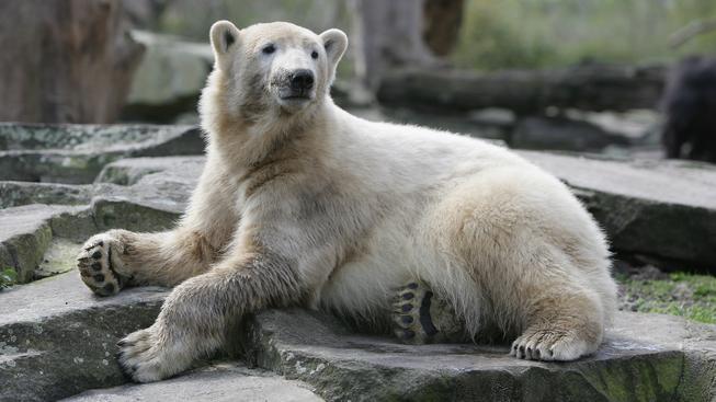 Lední medvěd Knut byl hvězdou berlínské zoo, které výrazně zvýšil návštěvnost