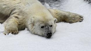 Lední medvědi vypadají na první pohled roztomile. Ilustrační foto