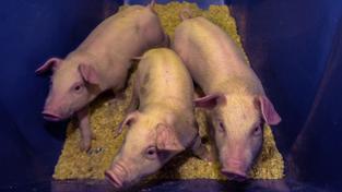 Klonování zemědělských zvířat je v EU zakázané. Ilustrační foto
