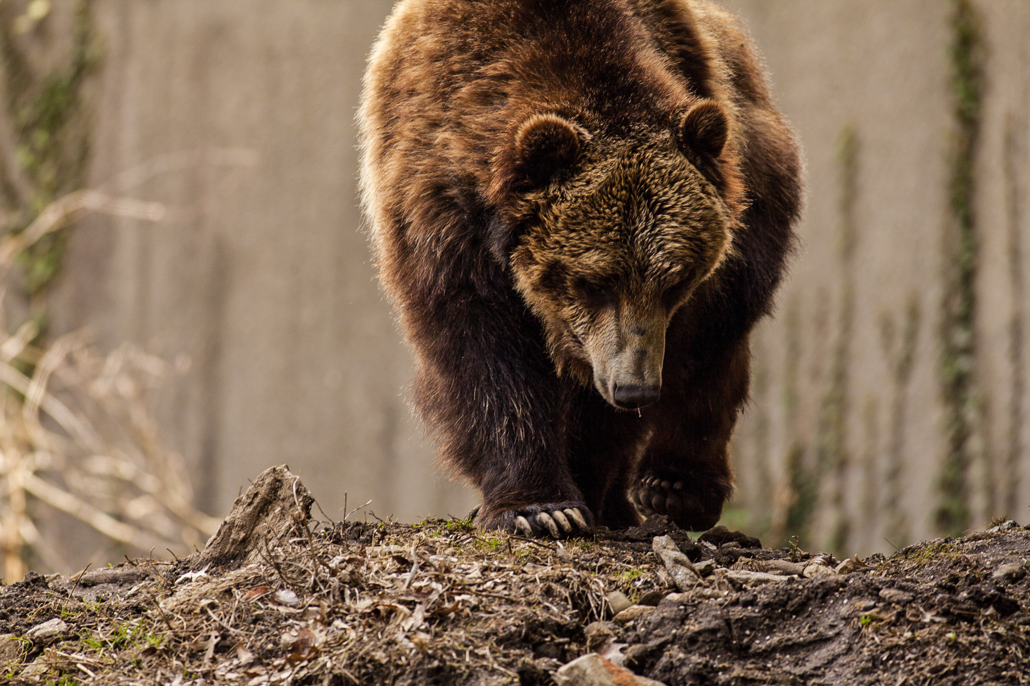 Střílet nebo chránit: Jak se žije po boku nebezpečných medvědů