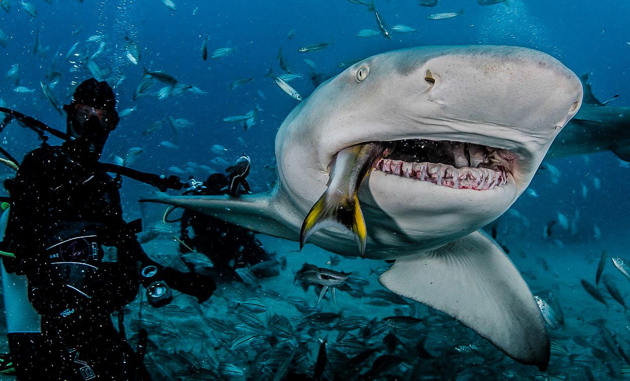 Podivuhodné dějiny žraloků: Od evolučního mistrovství k hrozbě vyhynutí