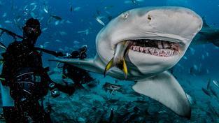 Krmení žraloka citronového na Floridě