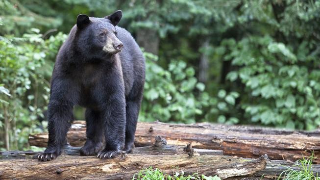 Na Floridě se prý přemnožili medvědi, úřady proti povolily jejich odstřel (ilustrační snímek)