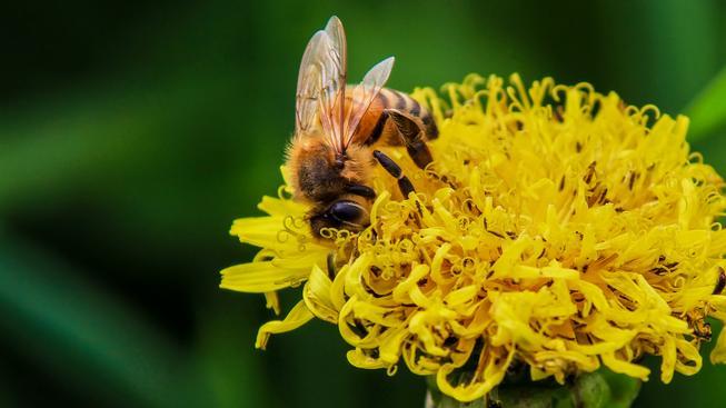 Některé květiny si zajišťují přízeň včel pravidelnou dávkou kofeinu (ilustrační foto)
