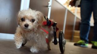 V Japonsku fungují specializované psí domovy důchodců