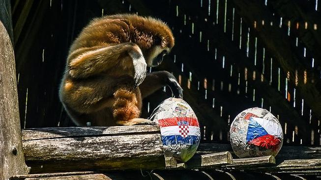 Gibon Kenti vybírá míč s chorvatskou vlajkou