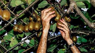 Novozélanďanům rostoucí sklizně kiwi kompenzují pokles prodeje mléka