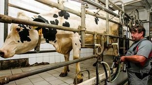 Čeští chovatelé dojnic mají paradoxní problém. Vyrábějí až příliš mnoho mléka a bez státních dotací by nepřežili