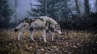 V Česku se vlkům v poslední době daří. Ilustrační snímek