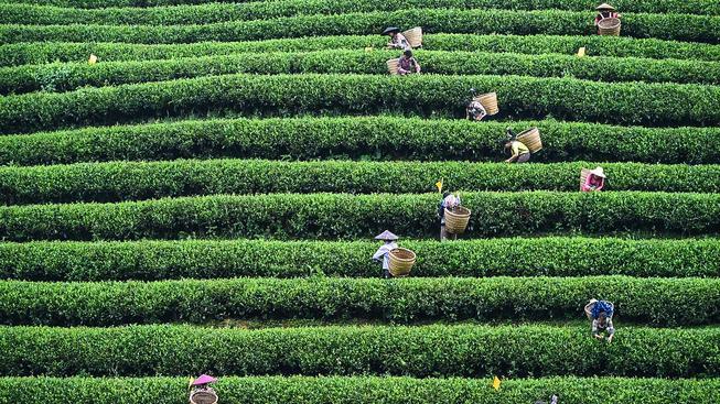 Čajová plantáž na jihu Číny