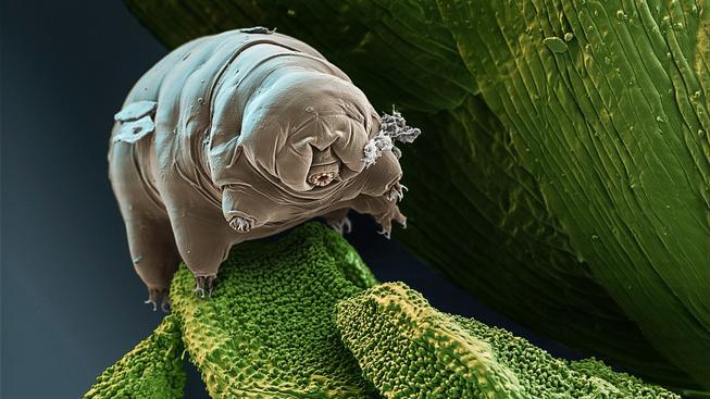 Želvušky nejsou jen mimořádně pozoruhodným organismem, ale také jsou svým způsobem roztomilé