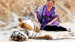Synonymem pro krutou zábavu s divokými zvířaty byl thajský Tygří chrám. Zvířata, která jsou nucena pózovat s turisty, jsou často pod drogami