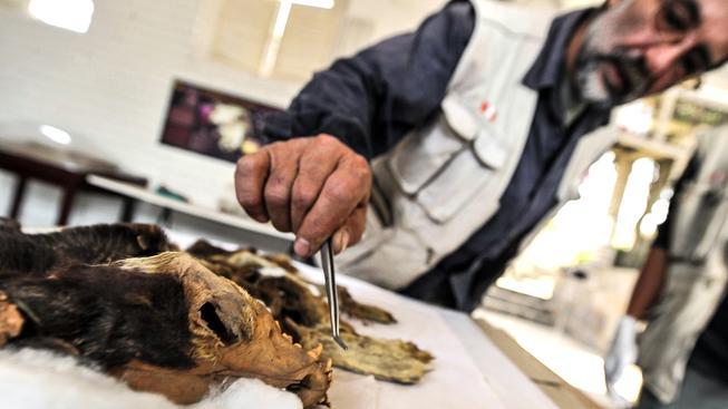 Veterinář zkoumá psí pozůstatky z naleziště Pachacamac ležícího v blízkosti Limy