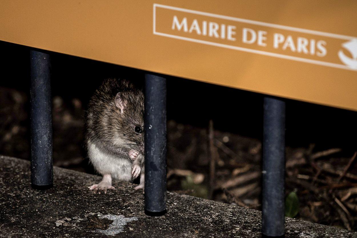 Krysy, všude samé krysy. Paříž řeší nepříjemný problém