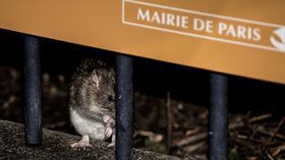 Paříž má problém s přemnoženými krysami