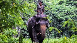 Sumaterské hlídky na vycvičených slonech pomáhají chránit před lidmi divoké slony, kterým hrozí vyhynutí