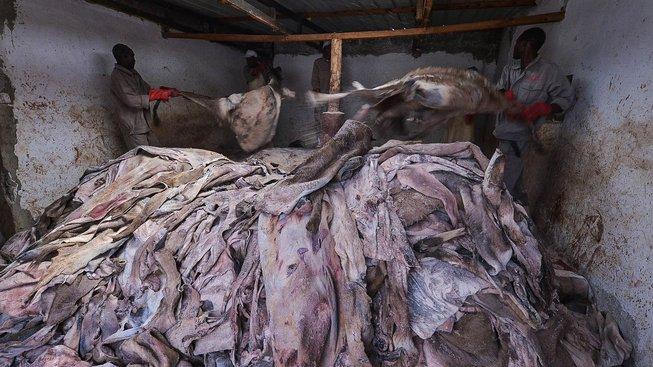 Oslí kůže je stejně žádanou komoditou jako sloní kly