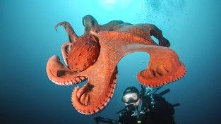 Chobotnice velká (Enteroctopus dofleini)