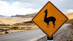 V Peru vás na cestě může překvapit lama. Pozor na plivance!