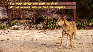 Invazní nájezdníci, nebo pomocníci? Australskou krajinu možná vytvořili dingové