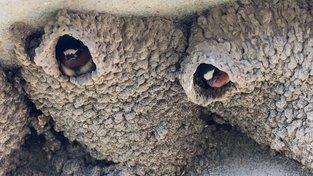 Vlaštovčí hnízda jsou v Asii drahou ale populární pochoutkou