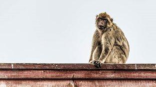 Evropané si na černém trhu pořizují makaky jako domácí mazlíčky. Ilustrační snímek