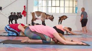 V USA praktikují speciální jógu s kozami