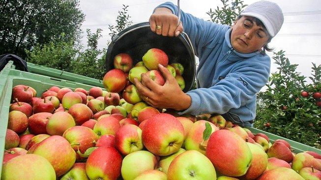 Ovoce letos bude výrazně méně. Úrodu spálil mráz