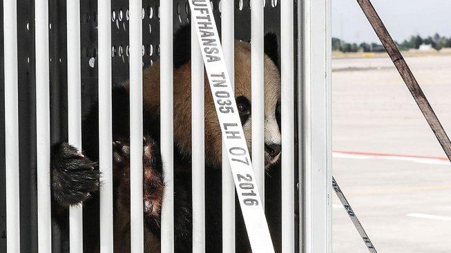 Panda Meng-meng po příletu do Berlína
