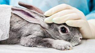 Vědci odhalili nový typ králičího moru. Připravují vakcínu
