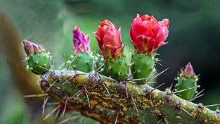 Kvetoucí opuncie