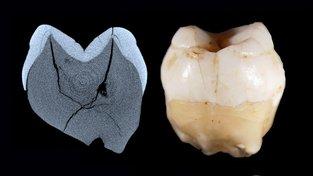 Zub jako důkaz: Lidé přišli do Asie daleko dříve, než se soudilo