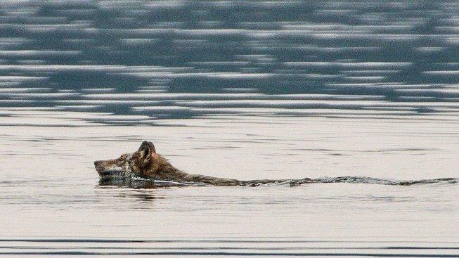 Tohoto vlka v kanadské Albertě se na rozdíl od toho švýcarského podařilo vyfotit