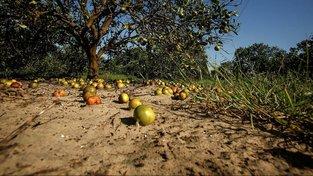Hurikán zničil téměř celou úrodu floridských pomerančovníků
