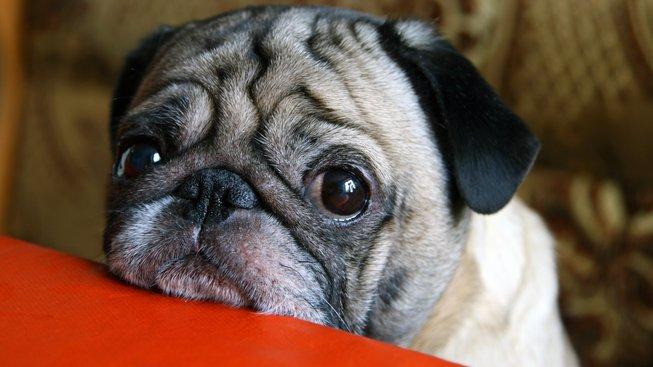 Psi to s námi umějí: Nad jejich smutným pohledem by se i kámen ustrnul