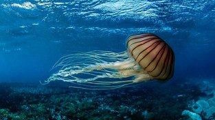 Talířovka pacifická je známá také jako hnědá medúza