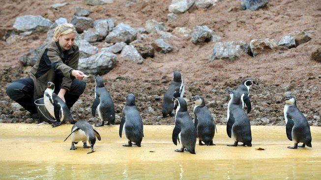 Tučňáci humboldtovi byli hlavním argumentem ochránců přírody. Ilustrační snímek