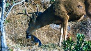 Proč jelen olizuje lišku? Snímek vzbuzuje mezi vědci zvědavost