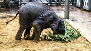 Na zlikvidovaných vánočních stromech si pochutnávají sloni v pražské zoo