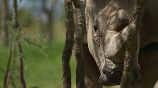 Poslední žijící samec nosorožce severního bílého Sudán