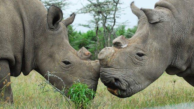 Najin a Fatu, poslední dvě samice nosorožce severního bílého