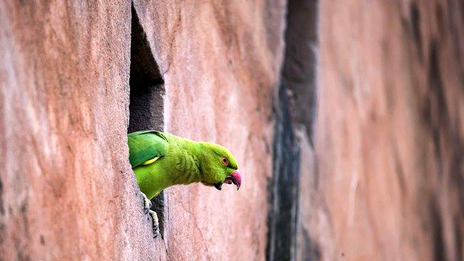 Papoušci alexandři malí se v Nizozemsku přemnožili