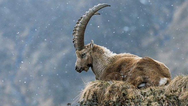Kozoroh pyrenejský se nedožil 21. století