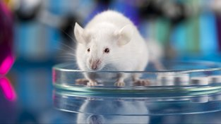 Laboratorní myši běhaly jako za mlada. Ilustrační snímek