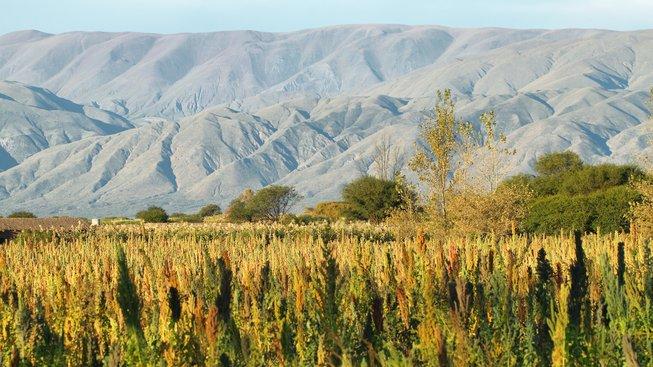 Kvůli vysoké poptávce pěstují zemědělci quinou i na místech, kde se jí tolik nedaří a nezíská tak všechny cenné živiny