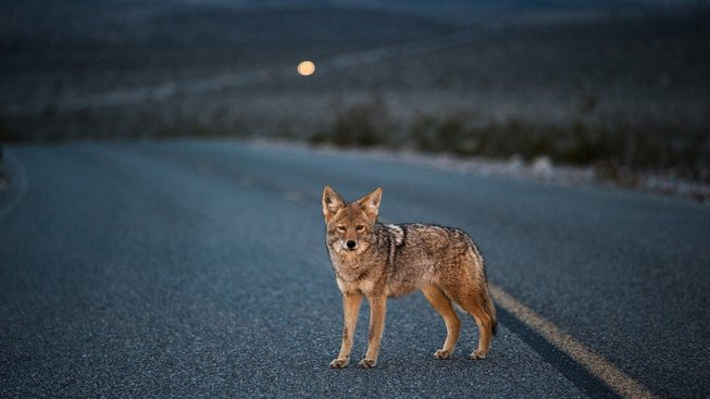 Kojoti jsou neuvěřitelně přizpůsobiví. Ilustrační snímek